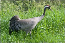 Cranes and allies, Galliformes, Pigeons