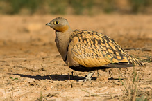 Black-bellied Sandgrouse